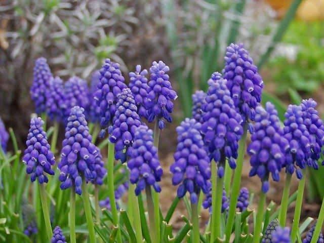 květy modřence