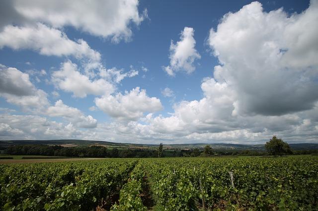 vinice a modrá obloha